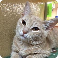 Long Beach, NY - Domestic Shorthair. Meet Eggnog, a kitten for adoption. http://www.adoptapet.com/pet/13832645-long-beach-new-york-kitten