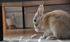 Tidy bunny cleans her paws - May 17, 2012