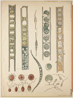 Botanical Drawings, Botanical Art, Botanical Illustration, Graphic Illustration, Ernst Haeckel, Plant Cell Drawing, Medical Drawings, Scientific Drawing, Biology Art