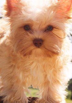 Blonde Chocolate Yorkie #Yorkie #Dog #ColorfulYorkies CuteDogs