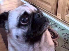 Pug crying for food being cooked