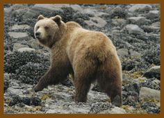 Glacier National Park Animals   Click here to learn more about Black Bear or Grizzly Bear