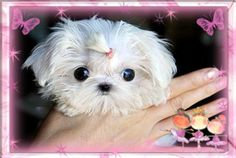 #1 resource for luxurious, gorgeous tiny teacup puppies for sale