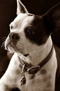 Great Portrait - It captures the heart and soul of these great dogs. ~ bostonterrierchecks.com