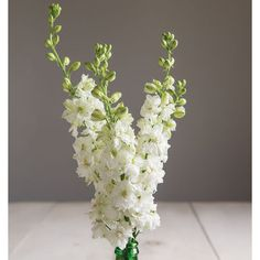 Sublime White Larkspur (Consolida ajacis) - Pure white blooms with touches of lime green in their centers and on petal edges. All Flowers, Types Of Flowers, Dried Flowers, Wedding Flowers, Blush Flowers, White Flowers, Larkspur Plant, Larkspur Flower, Large Flower Arrangements