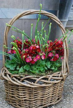 Basket of deep pink primula obconica Garden Gates, Garden Art, Hanging Baskets, Wicker Baskets, Flower Basket, Flower Pots, Bouquet Champetre, Primroses, Blooming Flowers
