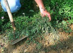Comment se débarrasser (sainement) des mauvaises herbes...