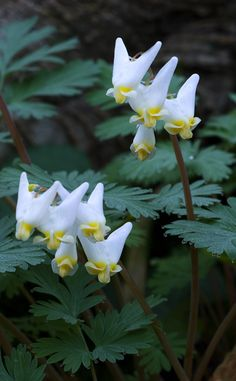"Dutchman's Breeches or ""britches"" as we say here in Indiana. Native wild flower which blooms in early spring"