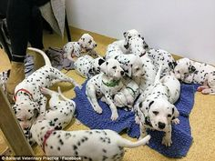 The 18 puppies Miley gave birth to also equalled the world record for the largest single l... #adorableanimals