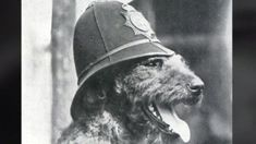 Edwin Richardson trained Airedale terriers for the police in Glasgow before supplying canine recruits for World War One. Online Pet Supplies, Dog Supplies, Glasgow Police, Airedale Terrier, Terriers, Police Dogs, Doberman Pinscher, German Shepherd Dogs, Dog Accessories