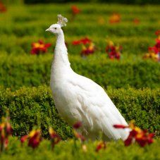 Looking to expand your flock to include some new fowl? Purely Poultry offers a large variety of game birds, peafowl and exotics for your choosing. Pretty Birds, Beautiful Birds, Dream English, White Peacock, Peafowl, Game Birds, Baby Chicks, English Countryside, Landscaping Plants