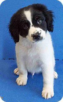 6.25.14  Plainfield, IL - Bernese Mountain Dog Mix. Meet Barney, a puppy for adoption. http://www.adoptapet.com/pet/11043623-plainfield-illinois-bernese-mountain-dog-mix