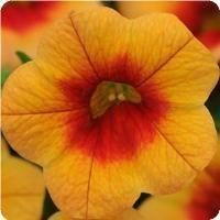 MiniFamous iGeneration Apricot Red Eye Calibrachoa
