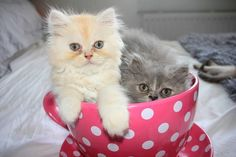 """This is Pumpkin (left) and Chubbs (right) when they were kittens. Cute Cats And Kittens, I Love Cats, Kittens Cutest, Teacup Kitten, Angora Cats, Miss Kitty, Cat Pin, Cute Images, Pretty Cats"