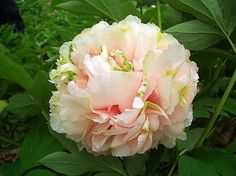 tree peony 'green ball' Chinese Name: Lv Xiang Qiu English Name: Globuar-crown form Flower size: 18cm×10cm Color: first light green Flowering time: late Character: stalks stout, fairly long. Flowers lateral. Growth extremely vigorous, lowers many, large, neatform, tolerant of diseases and salinity-alkalinity