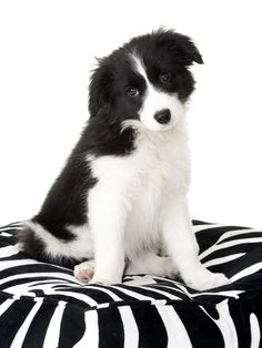 Look at those eyes! aww, border collies are the cutest dogs ever!