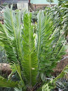 Encephalartos Relictus S A no Exotic Plants, Planting Seeds, Houseplants, Evergreen, Plant Leaves, Cactus, Tropical, Landscape, Bonsai