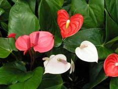 Anthurium andraeanum-hybriderFlamingoblomstAraceae MyrkonglefamilienSNITT /STUE Cut Flowers, Flamingo, Tropical, Plants, Flamingo Bird, Flamingos, Plant, Planting, Planets