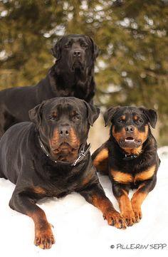 Three #Rottweiler beauties.
