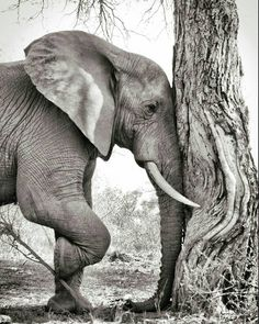 Elephant. ❣Julianne McPeters❣ no pin limits