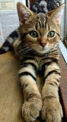 Cute Animals Video Clips the Cute Easy Drawings Of Baby Animals another Cat And Dog Pound Near Me although Cats And Kittens For Sale Buckinghamshire Cute Cats And Kittens, Cool Cats, Kittens Cutest, I Love Cats, Pretty Cats, Beautiful Cats, Animals Beautiful, Pretty Kitty, Big And Beautiful