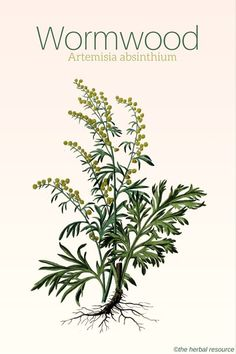Medicinal Herbs & Plants — Wormwood - Benefits and Uses Wormwood is one of.