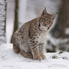 Oh, the lynx is such a remarkable looking animal. Those eyes are supernaturally aglow with predatory intelligence, those paws so soft and huge. And those tufted ears!
