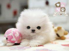 Teeny Tiny Pomeranian baby