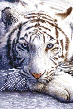 XENOS Poster: White tiger online te koop. Bestel je poster, je 3d filmposter of soortgelijk product Maxi Poster