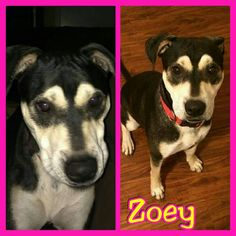 Meet ZOEY... She loves to play with doggie friends and humans. Potty trained, knows sit, stay, and shake. Gets along with dogs, cats and bearded dragons, lol She likes walks and enjoys hugs. Best with kids kids 6 and above that know how to treat a dog. Kelly is her foster mom.