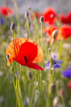 Poppies are just pretty!