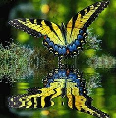 Eastern Tiger Swallowtail. State of South Carolina's state butterfly.  I have dozens of these flitting around my garden daily.  I love to watch them.