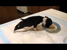 (VIDEO) This adorable Boston Terrier puppy flips over the food bowl while he is eating.