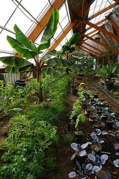 Energy-Efficient Solar Greenhouses | Growing Bananas Off-Grid: Tour of A Tropical Greenhouse in the Rocky Mountains