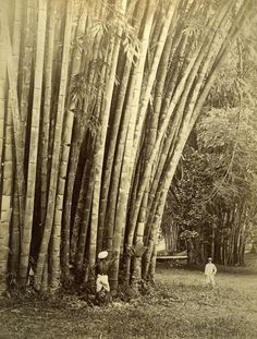dendrocalamus-giganteus-bamboo-in-ceylon.