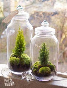 tiny cypresses moss terrarium in glass jars