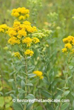 Michigan Wildflower - Stiff Goldenrod (Solidago rigida) - Google Search