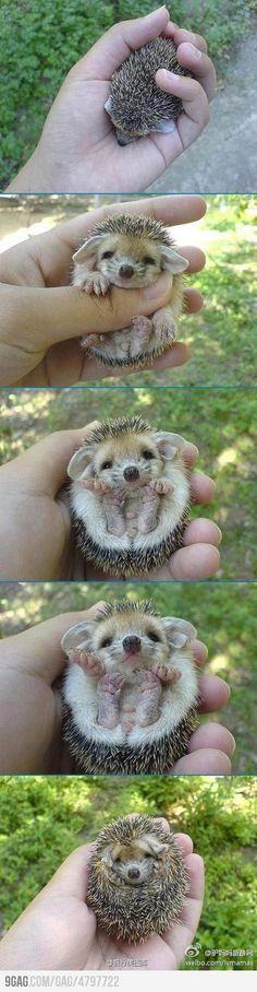 I want a baby hedgehog!