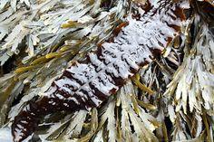 Kombu royal (laminaria saccharina) sur un lit de fucus dentelé (fucus serratus)