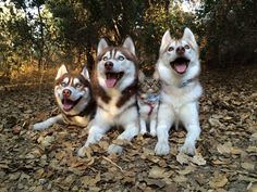 """Don't let the little husky fool you 