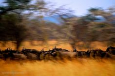 Wildebeest migration, Serengeti photo by Warren Pearson