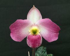 Slipper-orchid: Paphiopedilum vietnamense