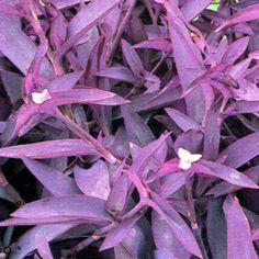 32 Best Purple Foliage Images Plants Purple Garden