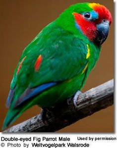 Double-eyed or Two-eyed Fig Parrot, Dwarf Fig Parrot