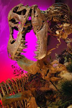 Tyrannosaurus Rex Versus Triceratops