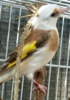 Le Splendide Chardonneret panaché woow   روعة الحسون الباناشي https://www.youtube.com/+bilelseg https://www.facebook.com/ChardonneretBilelKios/ https://www.instagram.com/bilelkios/ #الحسون #المقنين #القرديل #Chardonnerert #Canari #Mulet #MuletOiseau #Oiseau #Birds #Animaux #Goldfinch #Jilguero #Cardellino #καρδερίνα #Sakakuşu #Chien #Chat #Pigeon #Cheval #Science #Reptile #Poisson #Plantes #Hibiscus #Alger #Algérie #Tunisie #Maroc #ChardonneretGolden #BilelKios