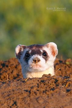 A black-footed ferret pops out for a quick look at me in Grasslands National Park, Saskatchewan, Canada