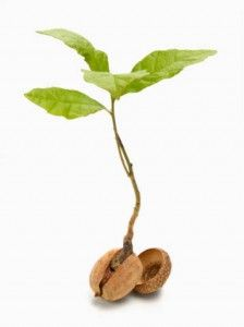 Only 1 in 10,000 acorns.