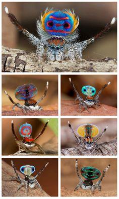 """Uma espécie encontrada na Austrália, conhecida como """"aranha pavão"""", por ostentar muitas cores. Uma analogia ao comportamento dos pavões: os machos procuram atrair as fêmeas com a exuberância do seu colorido, exibido na região dorsal."""