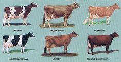 Did you know there are over 900 different breeds of cows? Thats a lot of breeds. Early on in my illustrating process, I knew I had to decide which breed my character should be. It took some rese...